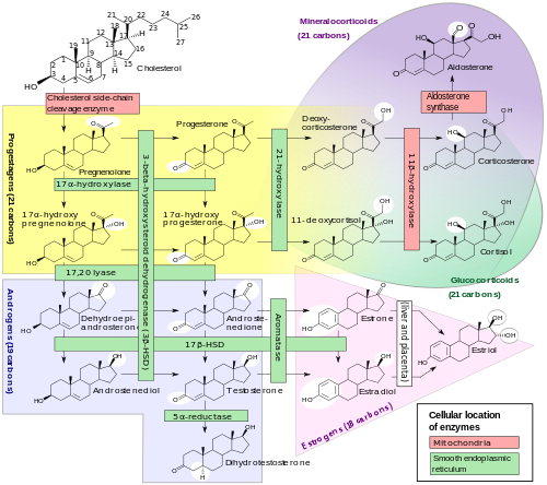 500px-Steroidogenesis.svg